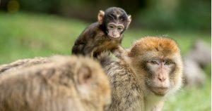apen op het werk
